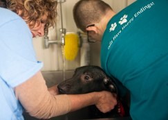 Two ARF members work together to bathe a labrador mix that arrived to the ARF facility on April 13. A total of five 6-month-old labrador mix dogs arrived at ARF together. The team worked to prepare kennels for the dogs, as well as bathe them and more. Breanna Daugherty | SFG